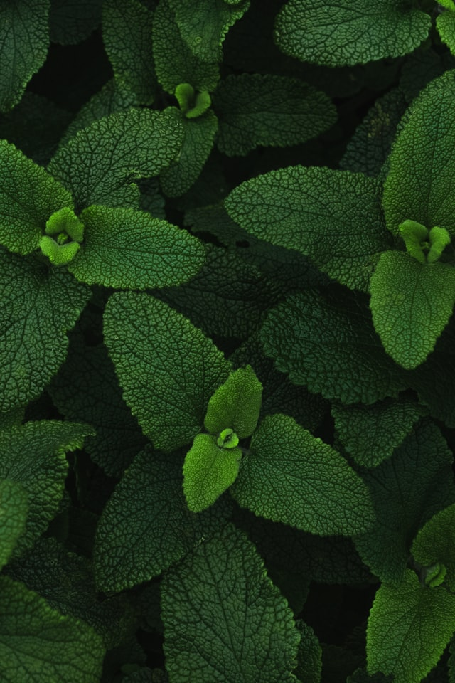 A picture of live mint plant
